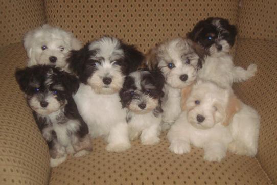 Havanese Dogs & Puppies by Ohana Havanese - Breeder in